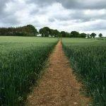 Path through wheat field